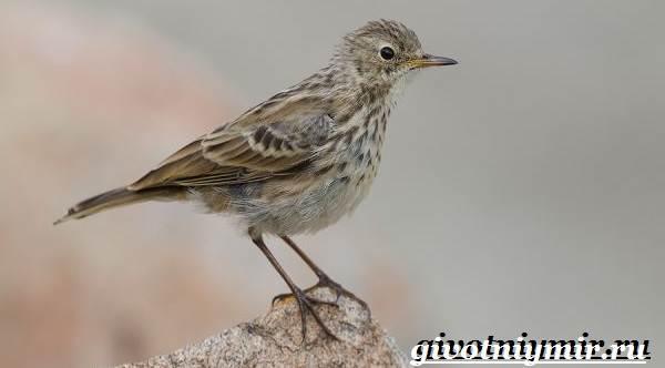 Конек-птица-Образ-жизни-и-среда-обитания-птицы-конек-5