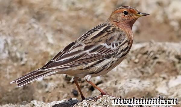 Конек-птица-Образ-жизни-и-среда-обитания-птицы-конек-6