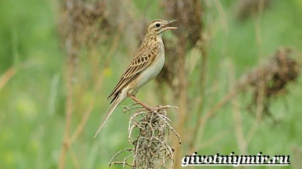 Конек-птица-Образ-жизни-и-среда-обитания-птицы-конек-8