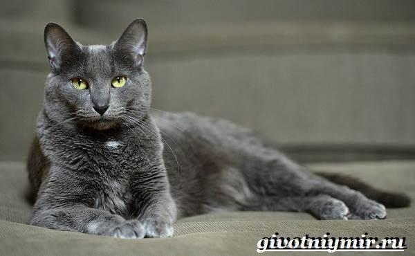 Корат-кошка-Описание-особенности-уход-и-цена-кошки-породы-корат-1