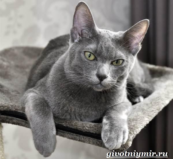 Корат-кошка-Описание-особенности-уход-и-цена-кошки-породы-корат-3