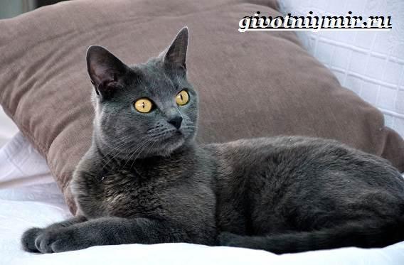 Корат-кошка-Описание-особенности-уход-и-цена-кошки-породы-корат-4