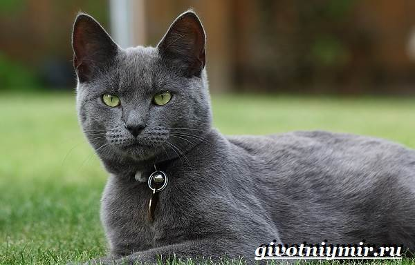 Корат-кошка-Описание-особенности-уход-и-цена-кошки-породы-корат-5
