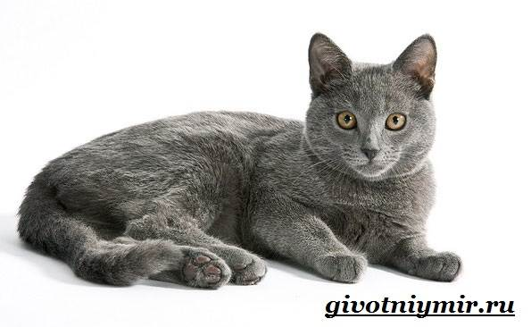 Корат-кошка-Описание-особенности-уход-и-цена-кошки-породы-корат-6