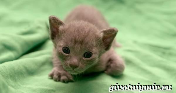 Корат-кошка-Описание-особенности-уход-и-цена-кошки-породы-корат-8