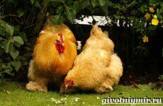 Кохинхин порода кур. Описание, содержание, уход и цена кур породы кохинхин