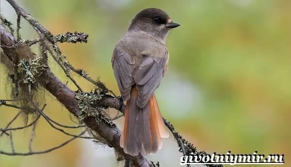 Кукша-птица-Образ-жизни-и-среда-обитания-птицы-кукши-1