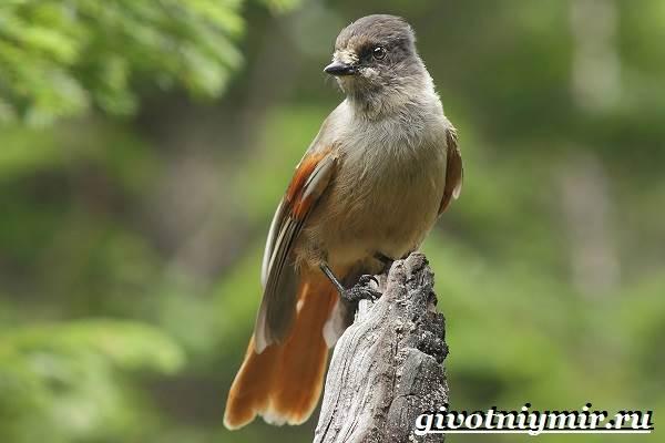 Кукша-птица-Образ-жизни-и-среда-обитания-птицы-кукши-2