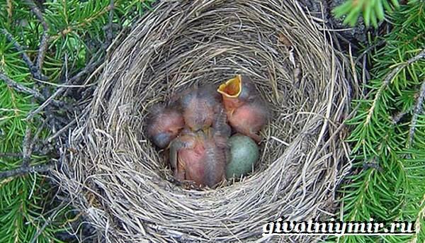 Кукша-птица-Образ-жизни-и-среда-обитания-птицы-кукши-3