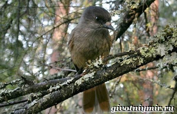 Кукша-птица-Образ-жизни-и-среда-обитания-птицы-кукши-4