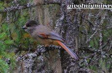Кукша птица. Образ жизни и среда обитания птицы кукши