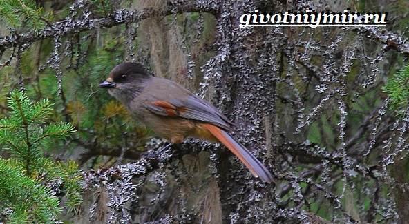 Кукша-птица-Образ-жизни-и-среда-обитания-птицы-кукши-5