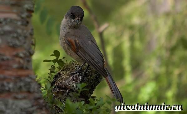 Кукша-птица-Образ-жизни-и-среда-обитания-птицы-кукши-6