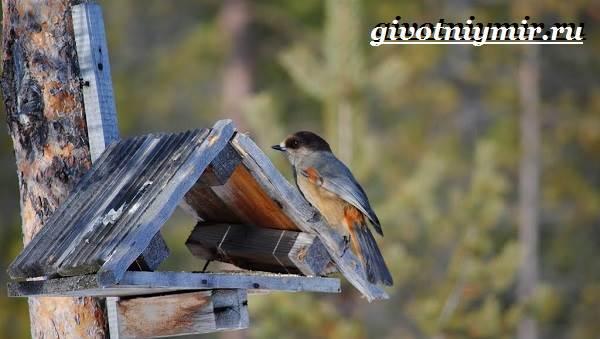 Кукша-птица-Образ-жизни-и-среда-обитания-птицы-кукши-7