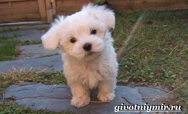 Мальтезе-порода-собак-Описание-особенности-уход-и-цена-мальтезе-1