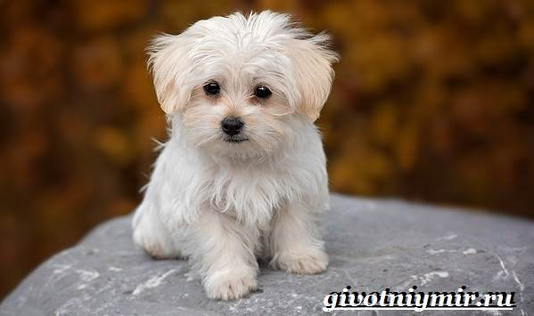 порода собак мальтезе фото