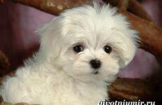 Мальтезе порода собак. Описание, особенности, уход и цена мальтезе