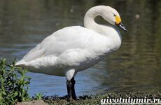 Малый лебедь птица. Образ жизни и среда обитания малого лебедя