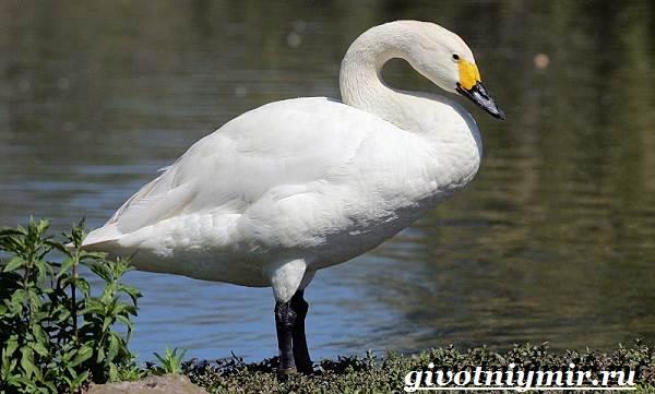 Малый-лебедь-птица-Образ-жизни-и-среда-обитания-малого-лебедя-1