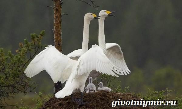 Малый-лебедь-птица-Образ-жизни-и-среда-обитания-малого-лебедя-10