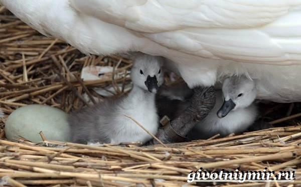 Малый-лебедь-птица-Образ-жизни-и-среда-обитания-малого-лебедя-11