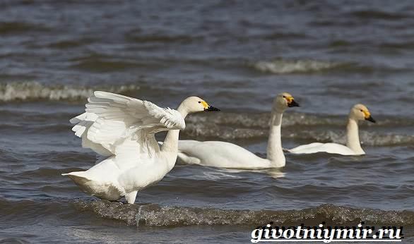 Малый-лебедь-птица-Образ-жизни-и-среда-обитания-малого-лебедя-3