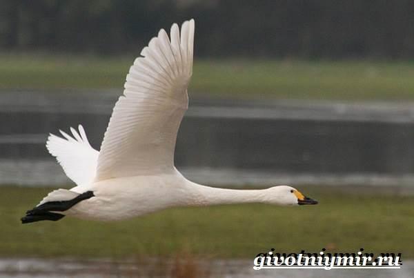 Малый-лебедь-птица-Образ-жизни-и-среда-обитания-малого-лебедя-4