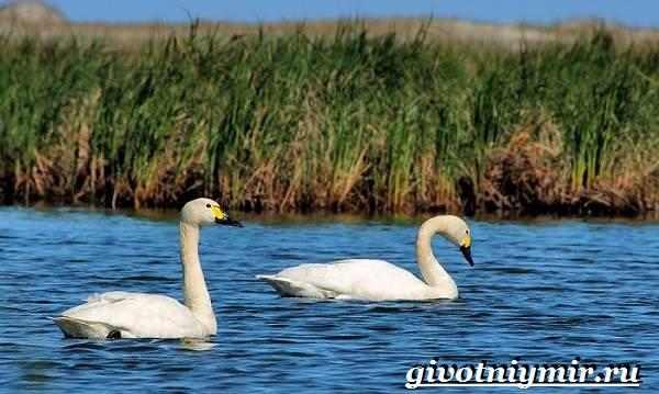 Малый-лебедь-птица-Образ-жизни-и-среда-обитания-малого-лебедя-8
