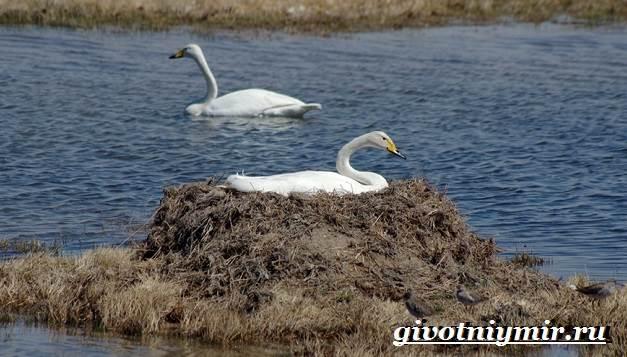 Малый-лебедь-птица-Образ-жизни-и-среда-обитания-малого-лебедя-9