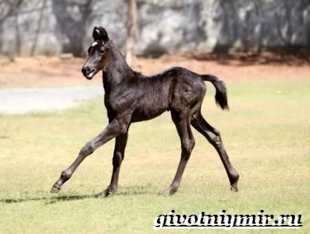 Марвари-лошадь-Образ-жизни-и-среда-обитания-лошади-марвари-1