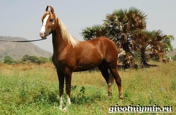 Марвари-лошадь-Образ-жизни-и-среда-обитания-лошади-марвари-2