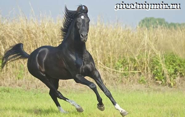 Марвари-лошадь-Образ-жизни-и-среда-обитания-лошади-марвари-3