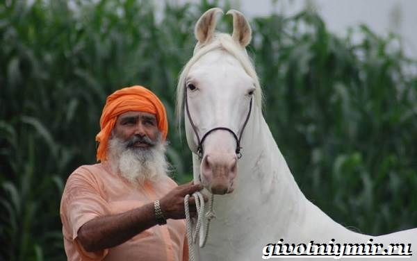 Марвари-лошадь-Образ-жизни-и-среда-обитания-лошади-марвари-4