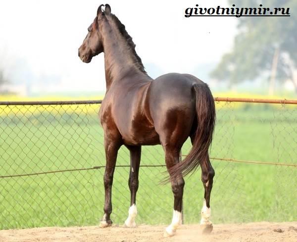 Марвари-лошадь-Образ-жизни-и-среда-обитания-лошади-марвари-7