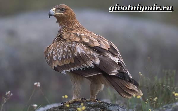 Могильник-птица-Образ-жизни-и-среда-обитания-могильника-1