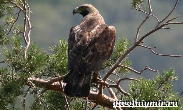 Могильник-птица-Образ-жизни-и-среда-обитания-могильника-2
