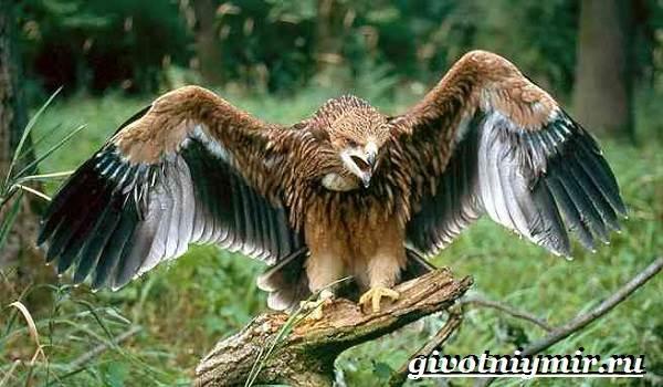 Могильник-птица-Образ-жизни-и-среда-обитания-могильника-3