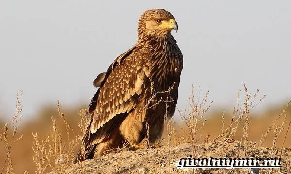 Могильник-птица-Образ-жизни-и-среда-обитания-могильника-4