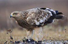 Могильник птица. Образ жизни и среда обитания могильника