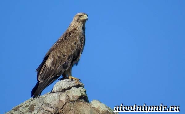 Могильник-птица-Образ-жизни-и-среда-обитания-могильника-6