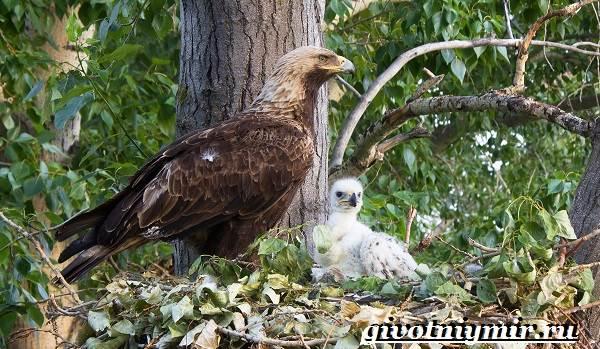 Могильник-птица-Образ-жизни-и-среда-обитания-могильника-7