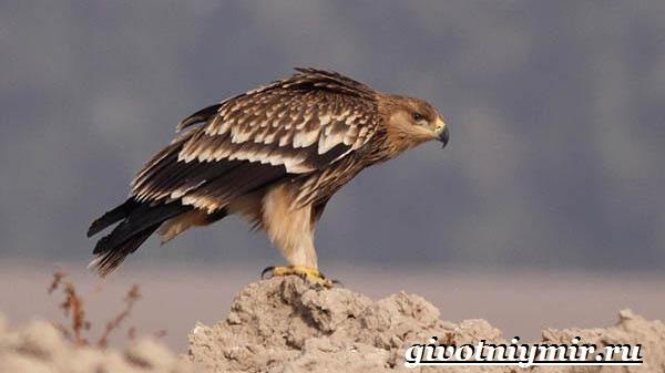 Могильник-птица-Образ-жизни-и-среда-обитания-могильника-8