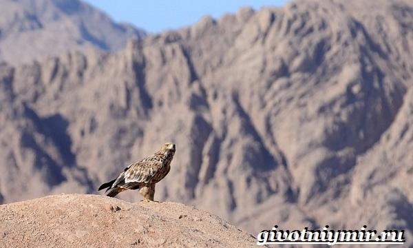 Могильник-птица-Образ-жизни-и-среда-обитания-могильника-9