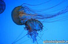 Морская оса медуза. Образ жизни и среда обитания морской осы