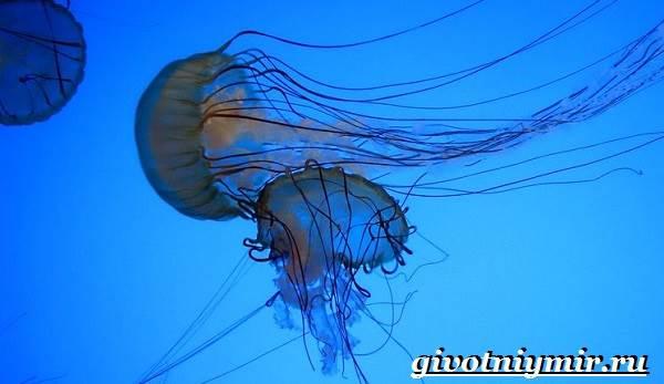Морская-оса-медуза-Образ-жизни-и-среда-обитания-морской-осы-3