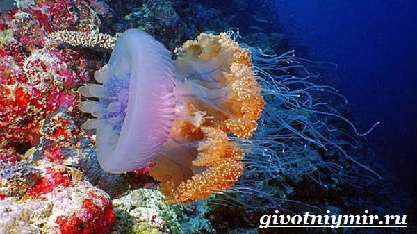 Морская-оса-медуза-Образ-жизни-и-среда-обитания-морской-осы-7