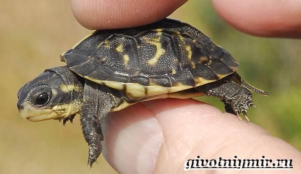 Мускусная-черепаха-Образ-жизни-и-среда-обитания-мускусной-черепахи-1