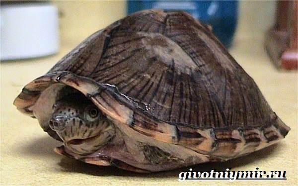 Мускусная-черепаха-Образ-жизни-и-среда-обитания-мускусной-черепахи-4
