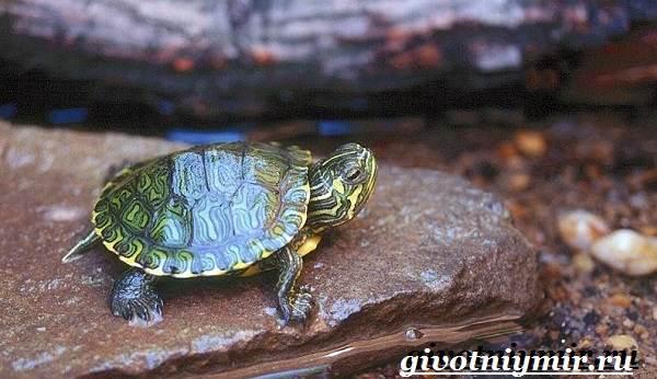 Мускусная-черепаха-Образ-жизни-и-среда-обитания-мускусной-черепахи-5