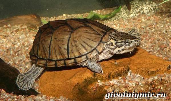 Мускусная-черепаха-Образ-жизни-и-среда-обитания-мускусной-черепахи-7